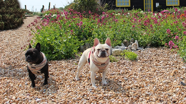 French Bulldogs Dungeness Hastings Hounds Pet Care Service