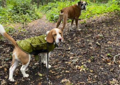 Boxer Beagle hastings Country Park Dog Daycare St Leonards Fairlight Pett Winchelsea