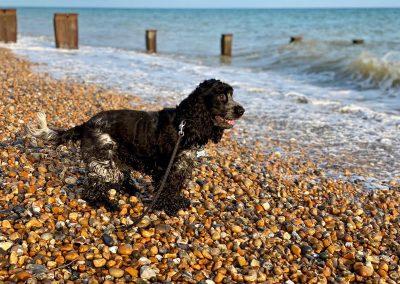 Cocker Spaniel Dog Walking Services Hastings St Leonards on Sea Fairlight Pett Winchelsea