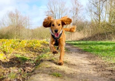 Cocker Spaniel Dog walking service hastings St leonards fairlight Pett Winchelsea