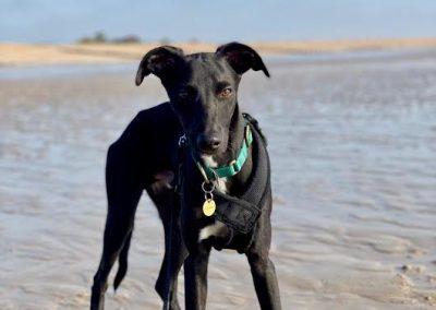 Dog walking service Hastings St Leonards on sea whippet puppy on Winchelsea beach