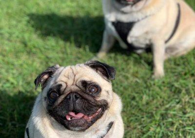 Pug Dog daycare St Leonards Hastings Fairlight Pett Winchelsea Rye