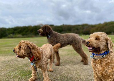 dog walker Hastings Country park Cockerpoo St leonards Fairlight Pett