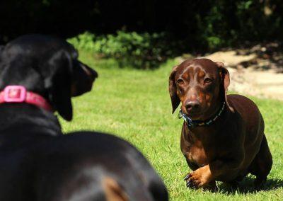 mini dachund Dog walker St Leonards Hastings fairlight Pett Winchelsea